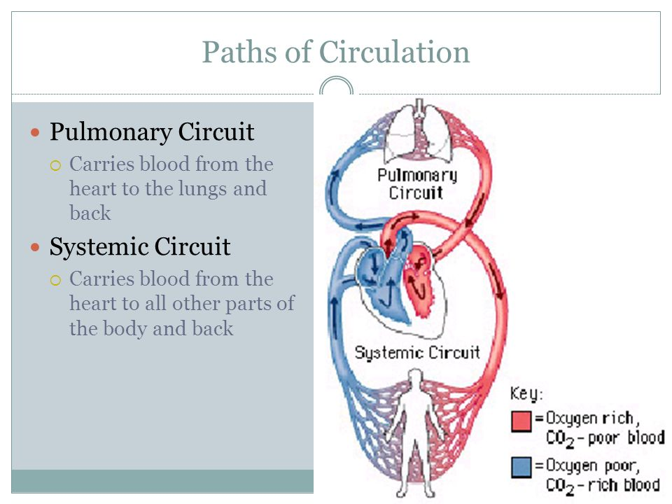 Paths of Circulation Pulmonary Circuit Systemic Circuit