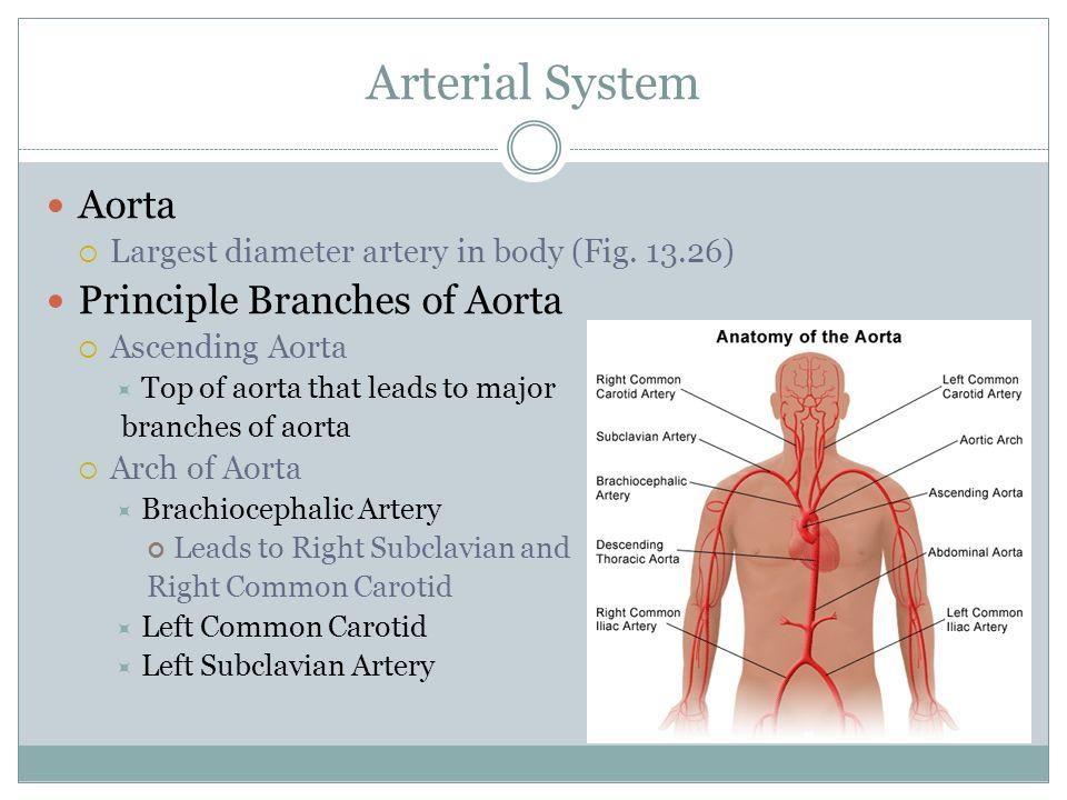 Arterial System Aorta Principle Branches of Aorta