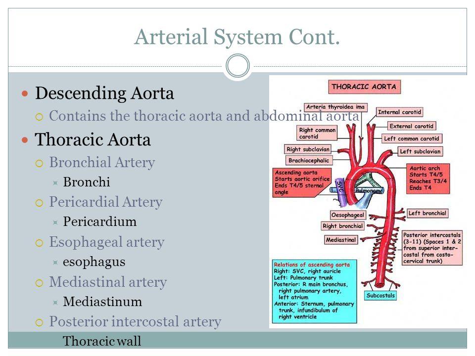 Arterial System Cont. Descending Aorta Thoracic Aorta