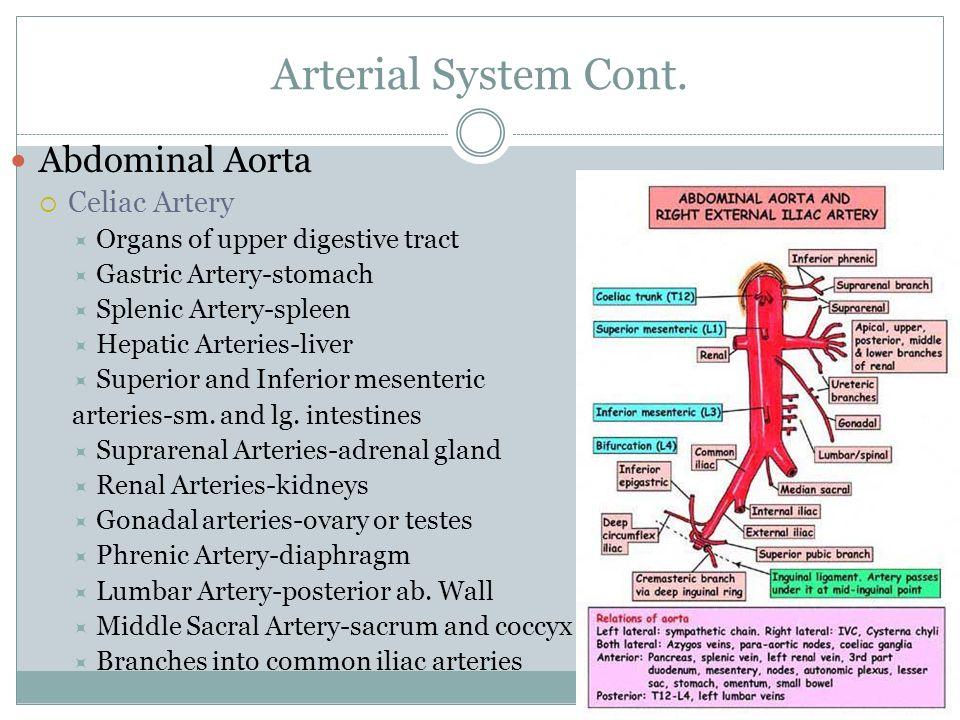 Arterial System Cont. Abdominal Aorta Celiac Artery