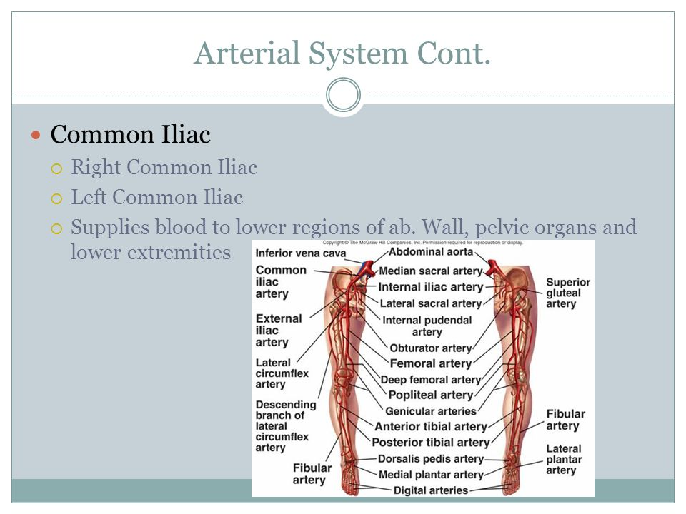 Arterial System Cont. Common Iliac Right Common Iliac
