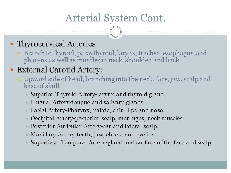Arterial System Cont. Thyrocervical Arteries External Carotid Artery: