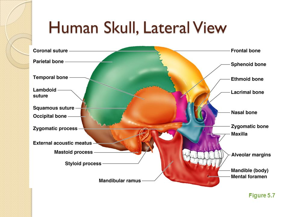 the axial skeleton ppt video online download