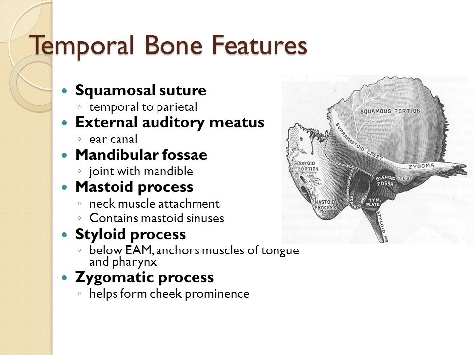 The Axial Skeleton. - ppt video online download