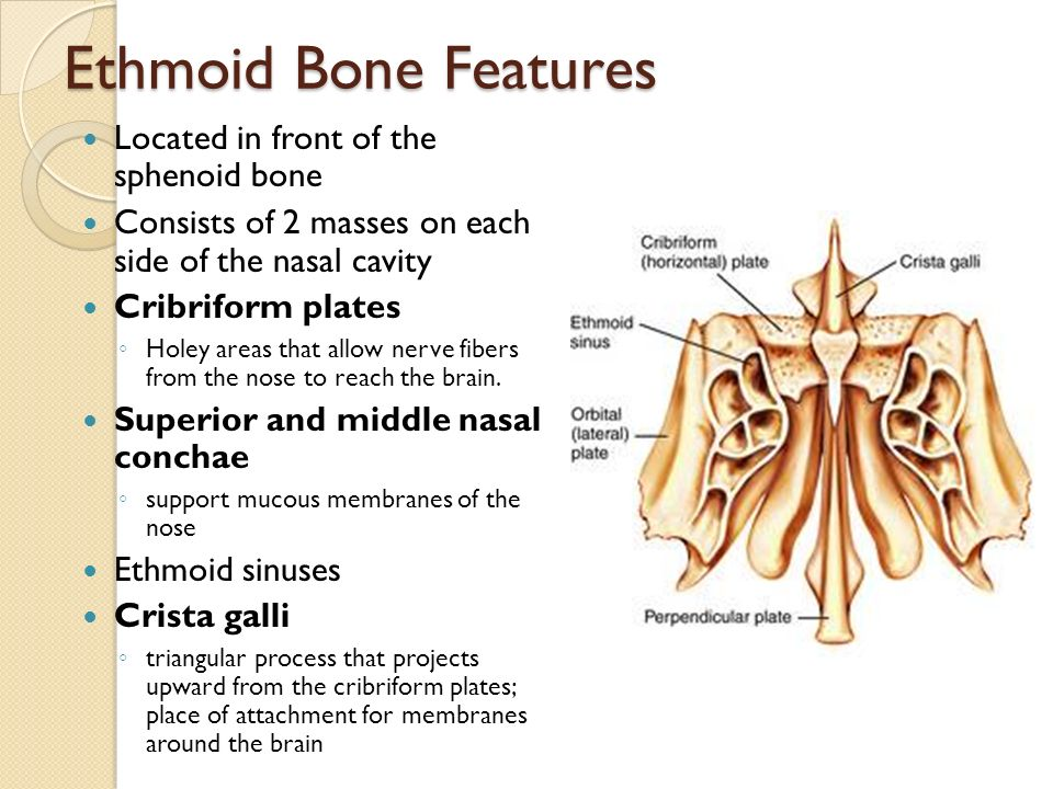 the axial skeleton. - ppt video online download, Sphenoid