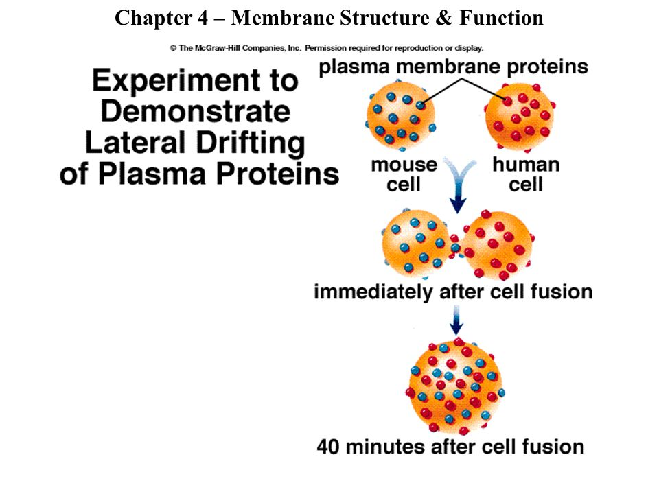 membrane structure and function lab report Lab ____ cell membranes the cell membrane as a result of its structure, our concept of the cell membrane is what are the functions of the cell membrane.