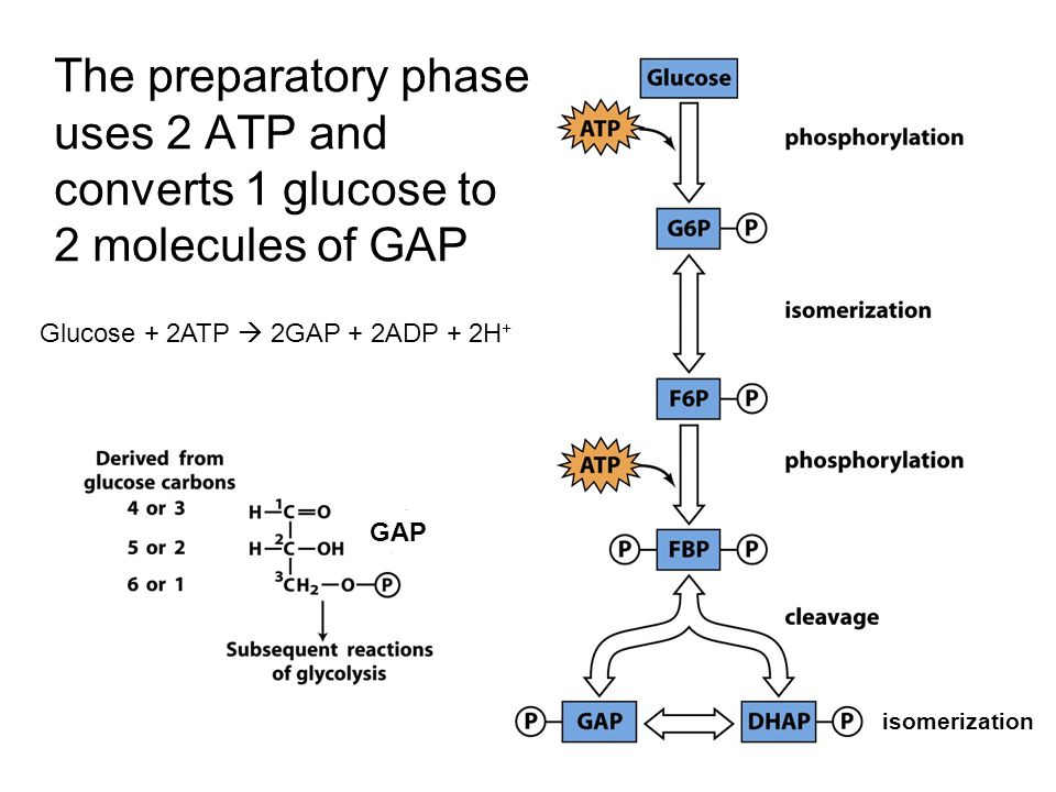 The preparatory phase uses 2 ATP and converts 1 glucose to 2 ...