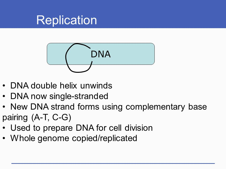 Dna structure and function ppt download replication dna double helix unwinds dna now single stranded pronofoot35fo Choice Image