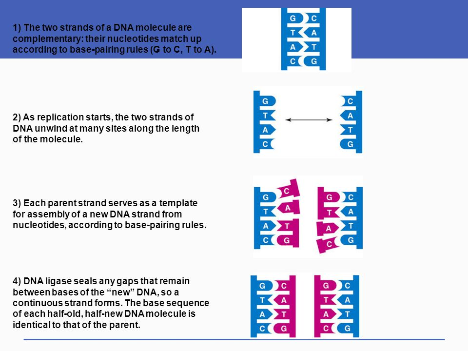 Dna structure and function ppt download 1 the two strands of a dna molecule are complementary their nucleotides match up pronofoot35fo Choice Image