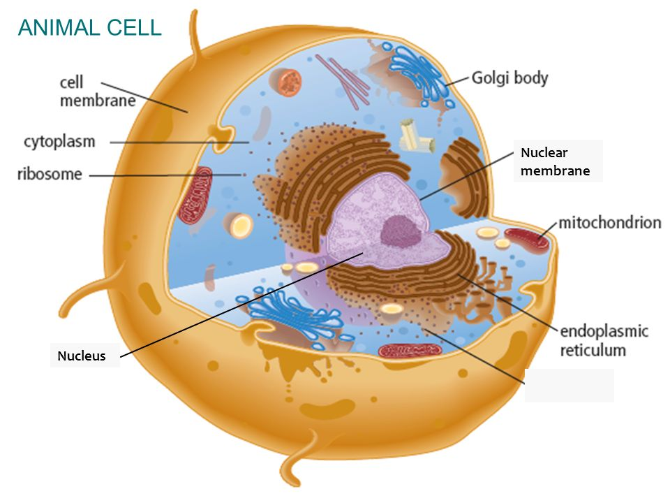 4.1 The Function of the Nucleus within the Cell - ppt ...