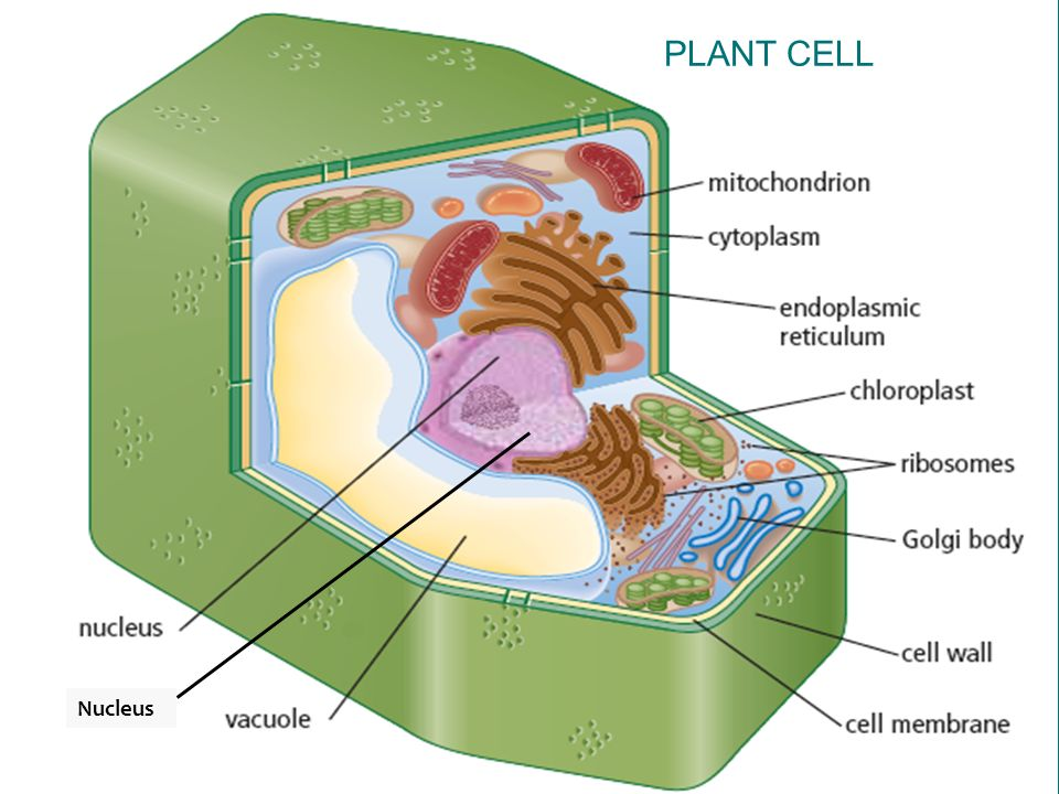 The Function of the Nucleus within the Cell - ppt