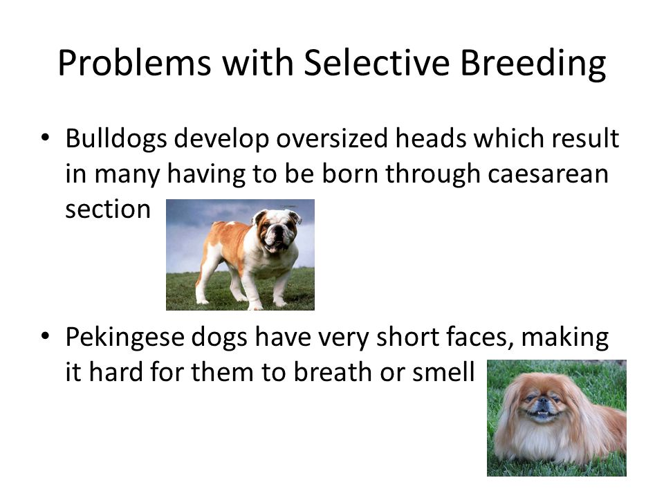 Selective Breeding Dogs Problems
