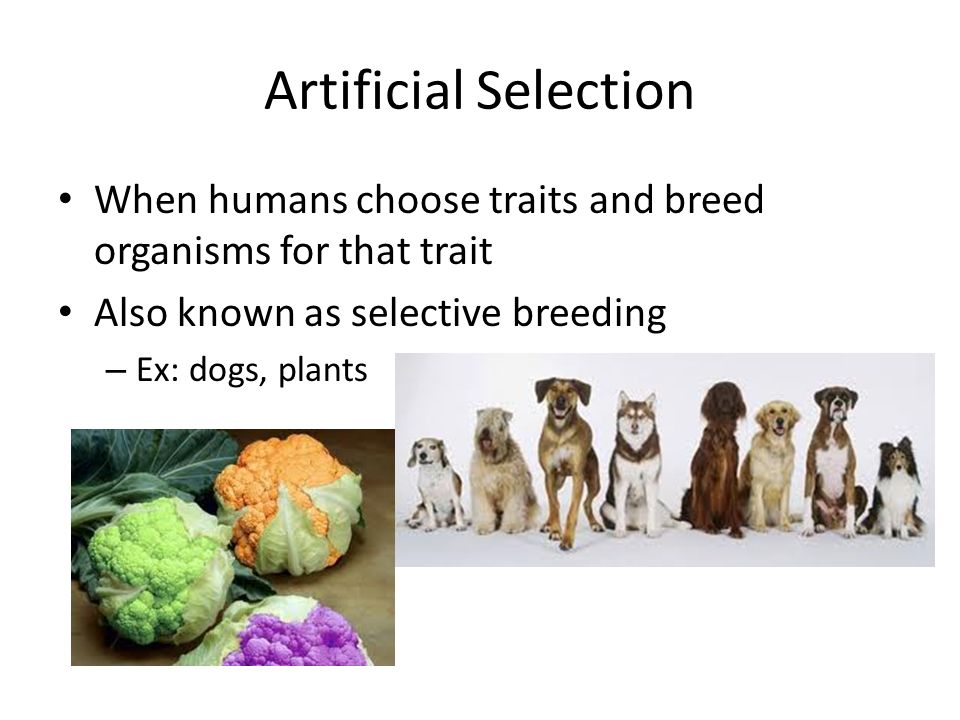 Artificial Selection Lessons Tes Teach