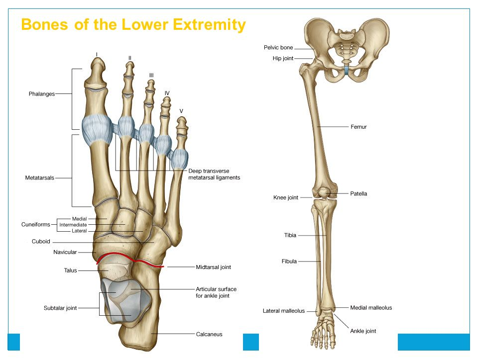 Lower Limb, part I - Where the medial thigh muscles ...