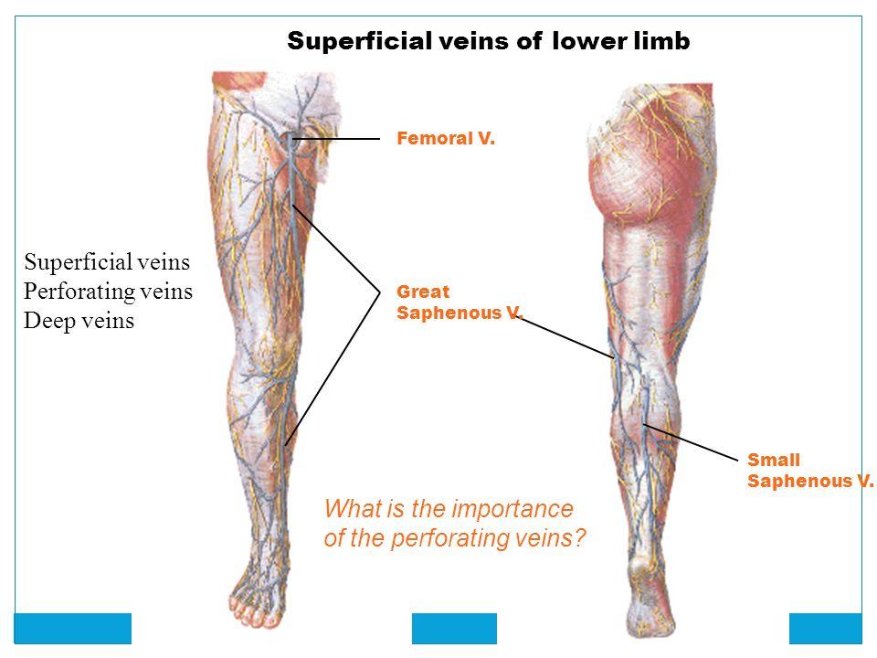 Deep veins of the leg anatomy 3572787 - follow4more.info
