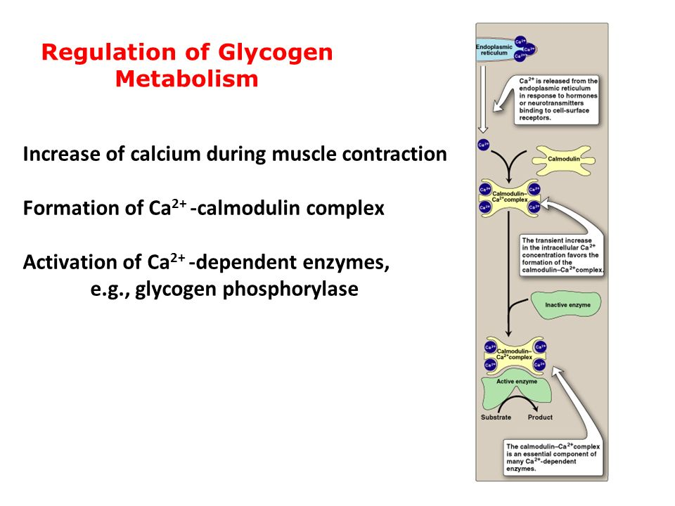 muscle glycogen resynthesis The glycogen metabolism page discusses the synthesis and breakdown of this molecule of glucose storage as well as diseases related to defects in these processes.