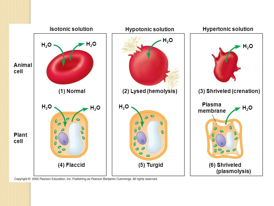 osmosis plasmolysis hemolysis Blood laboratory: red cell fragility osmotic hemolysis: cell membranes are semipermeable barriers, and osmotic gradients are established between intracellular and extracellular fluids which can cause water to flow into and out of the cells.