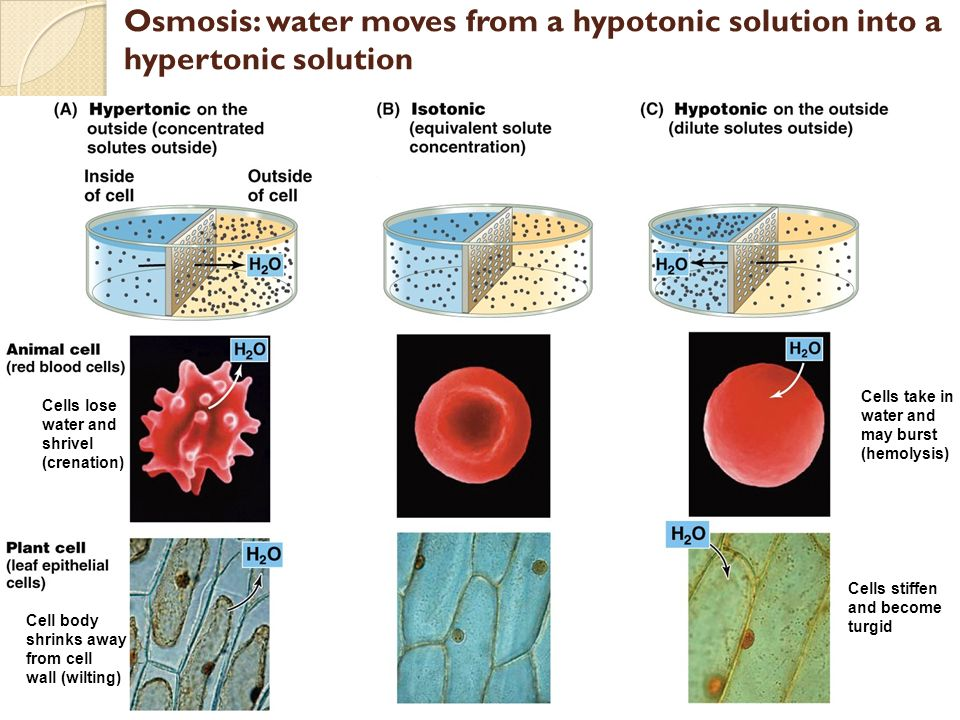osmosis animal cells experiment Osmosis on plant cells and animal cells refills for cell membranes: diffusion and osmosis kits are available at at the end of the experiment.
