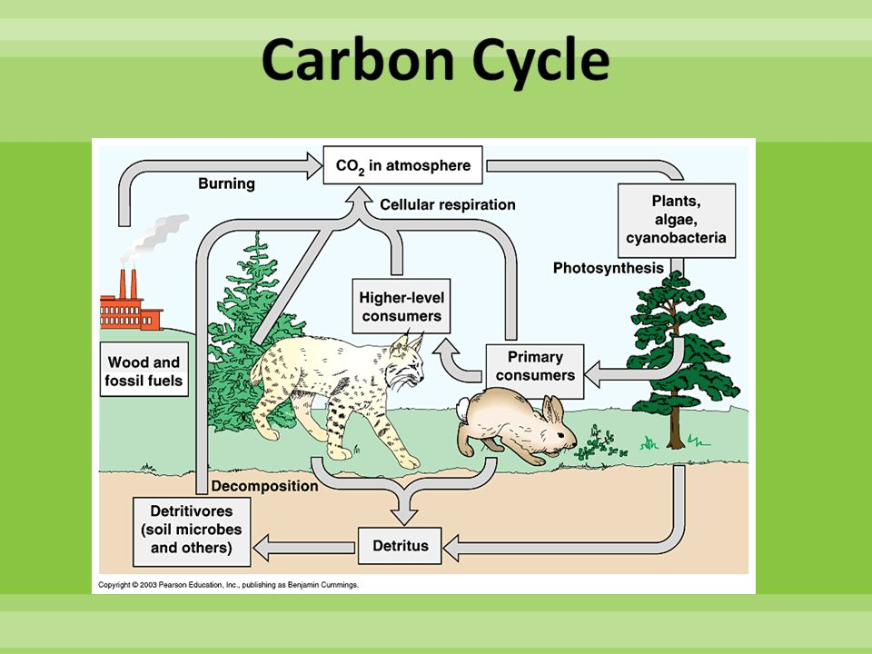 human impact on the carbon cycle The carbon cycle is one of the many bio geochemical cycles on this earth in it, there is circulation of carbon in many forms throughout nature carbon is the primary compound in almost all organic substances, many of them are very important for us on earth.