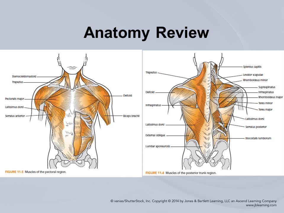Attractive Shoulder Region Anatomy Pictures - Human Anatomy Images ...