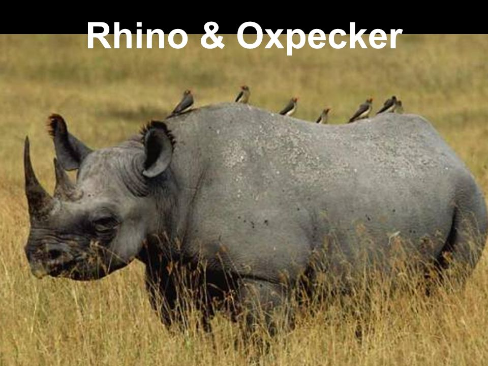 tick bird and rhino relationship problems