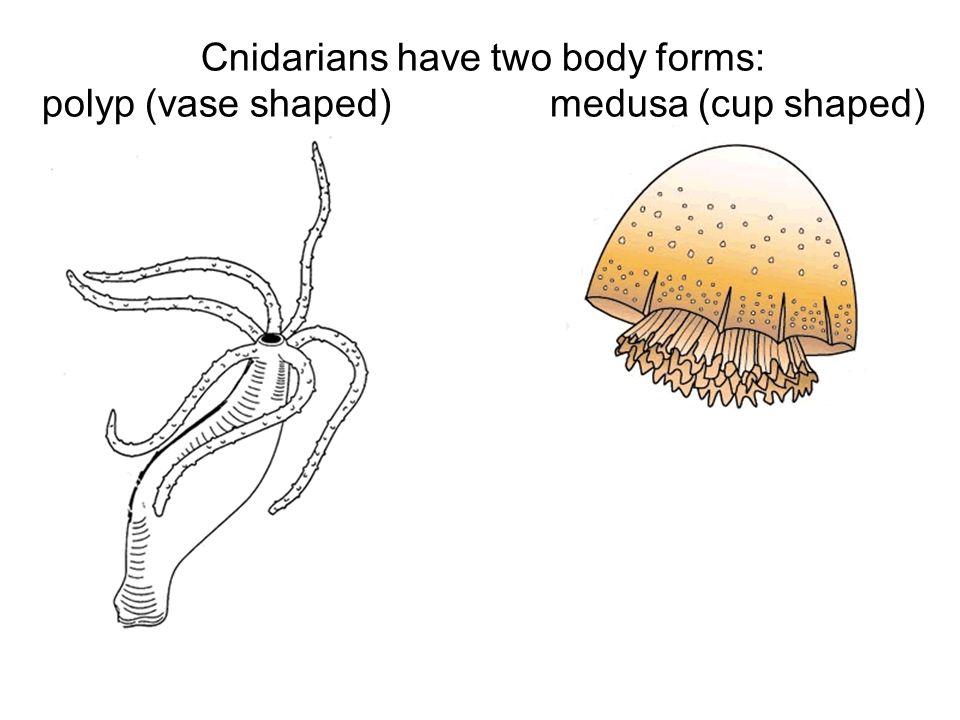 Phylum Cnidaria. - ppt video online download