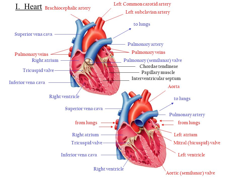 cardiovascular system -made up of the heart and blood vessels, Sphenoid