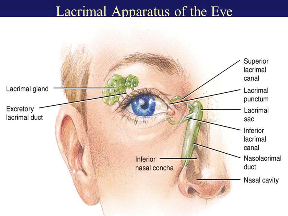 Lacrimal gland anatomy