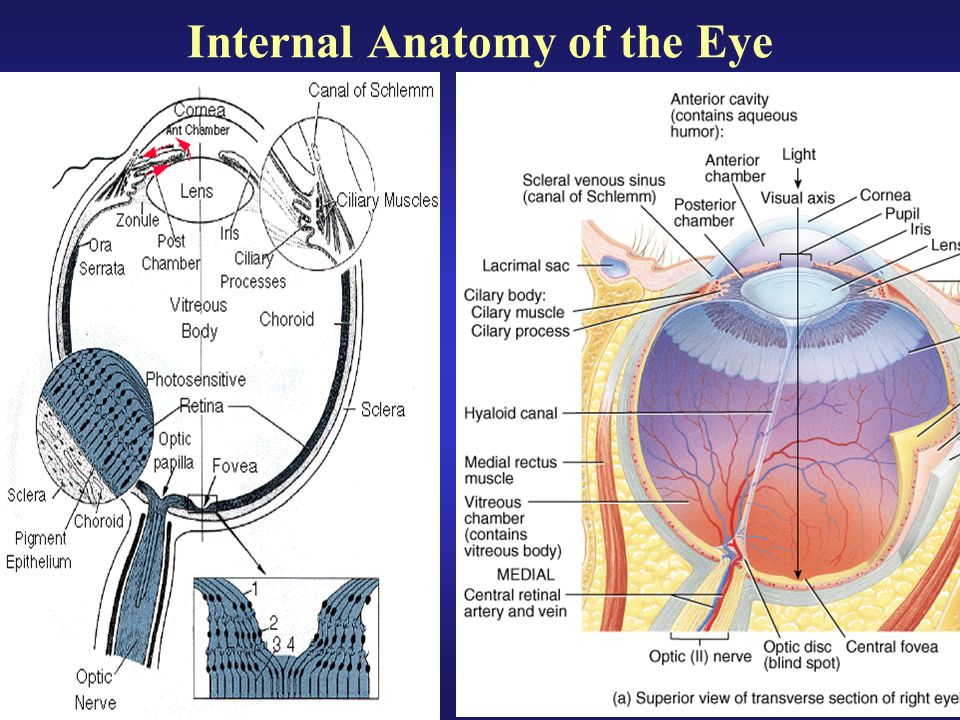 Anatomy of vitreous