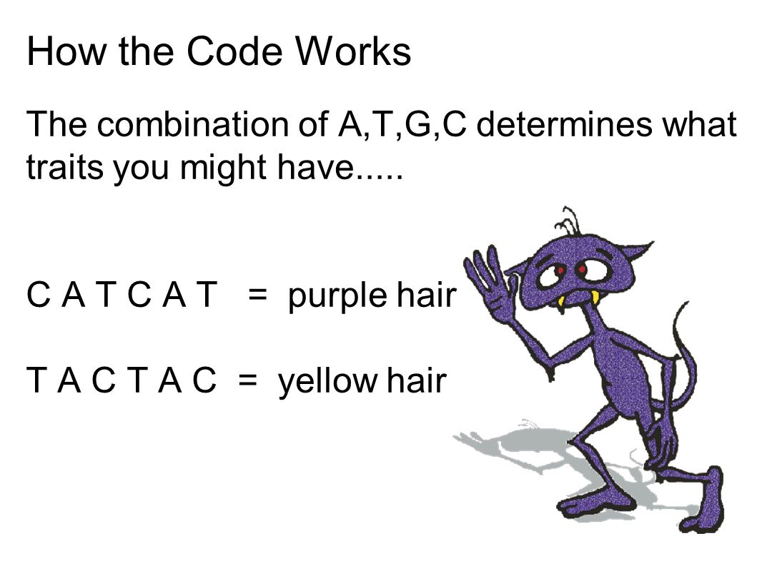How the Code Works The combination of A,T,G,C determines what traits you might have..... C A T C A T = purple hair.