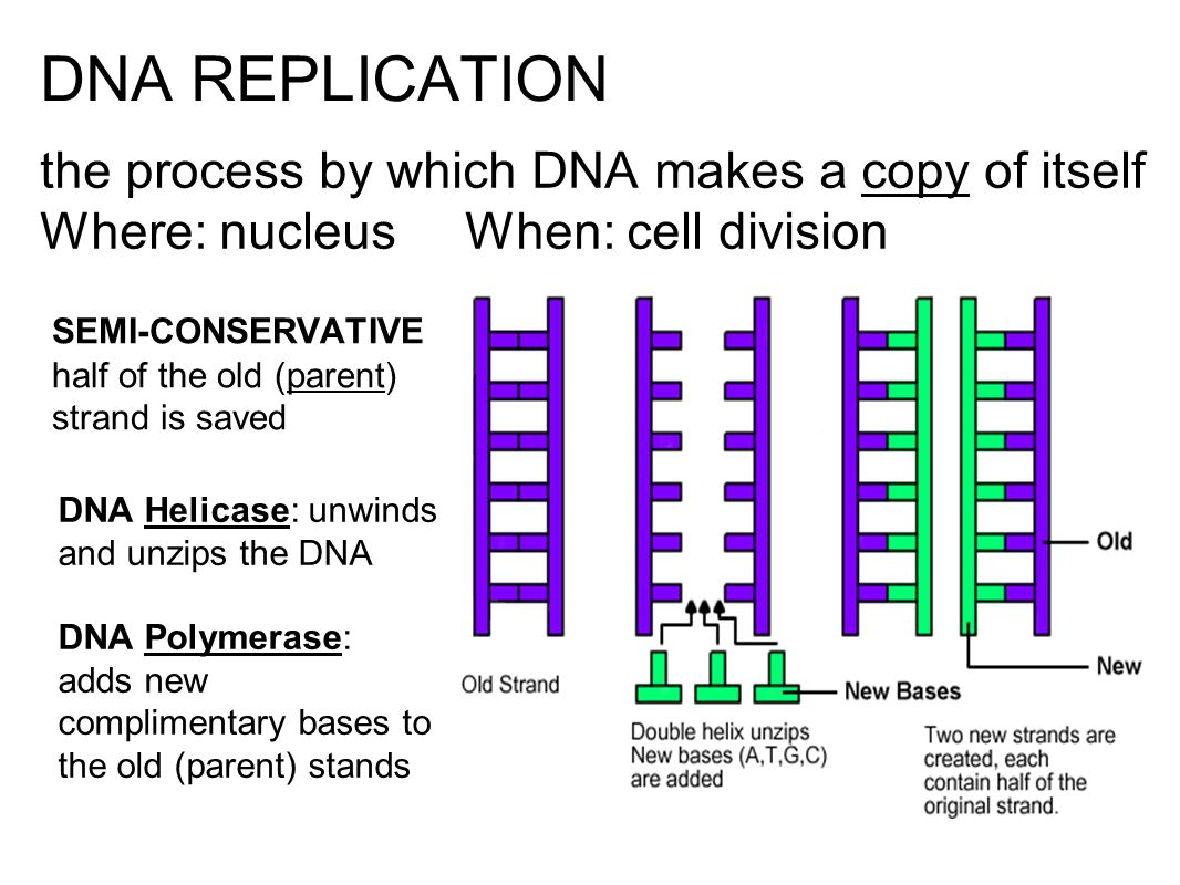 DNA REPLICATION the process by which DNA makes a copy of itself Where: nucleus When: cell division.