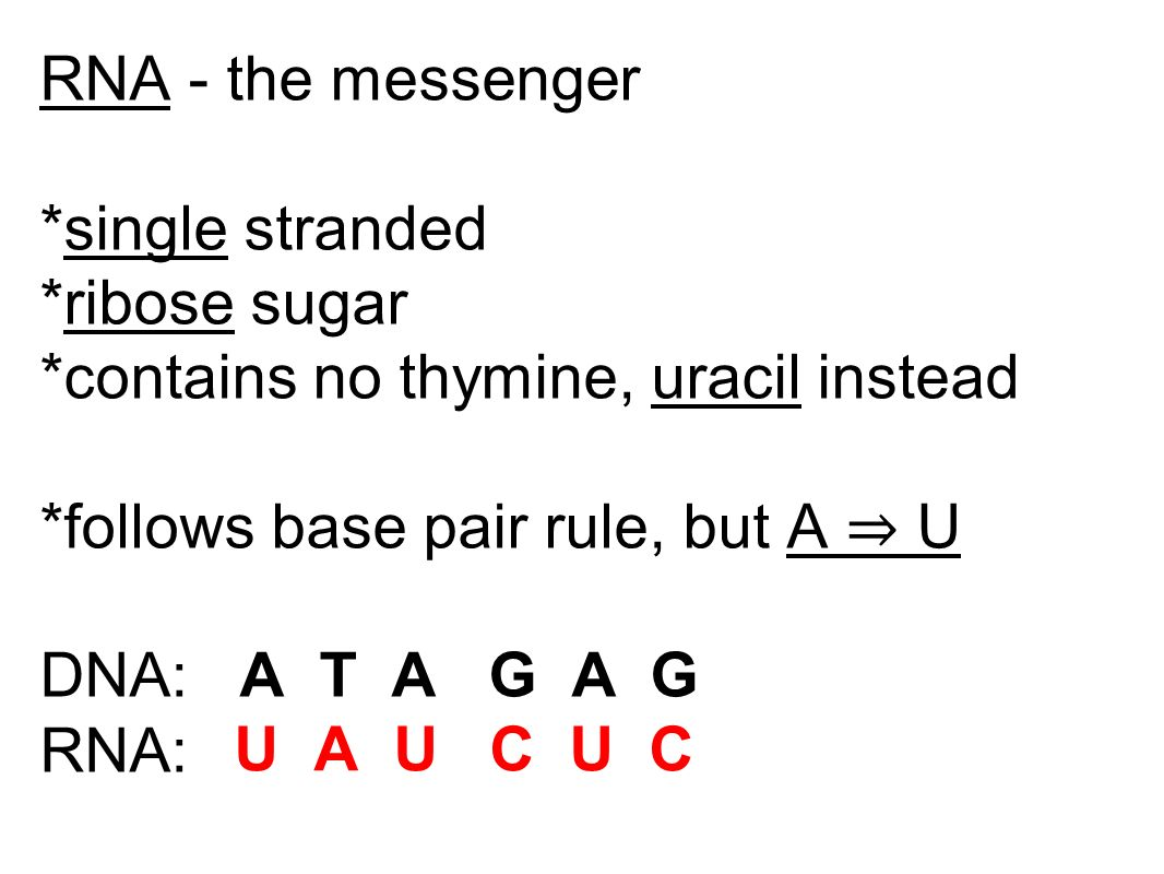 RNA - the messenger *single stranded. *ribose sugar. *contains no thymine, uracil instead. *follows base pair rule, but A ⇒ U.