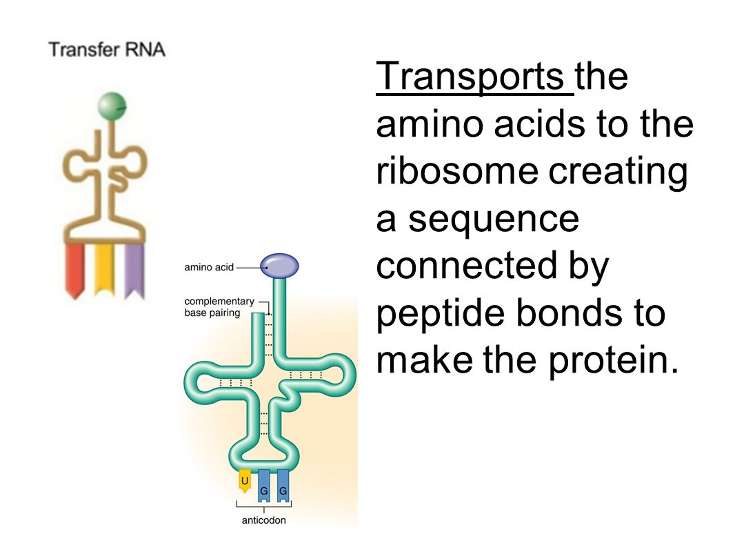 Transports the amino acids to the ribosome creating a sequence connected by peptide bonds to make the protein.
