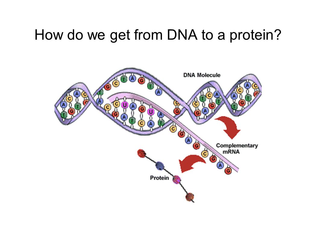 How do we get from DNA to a protein