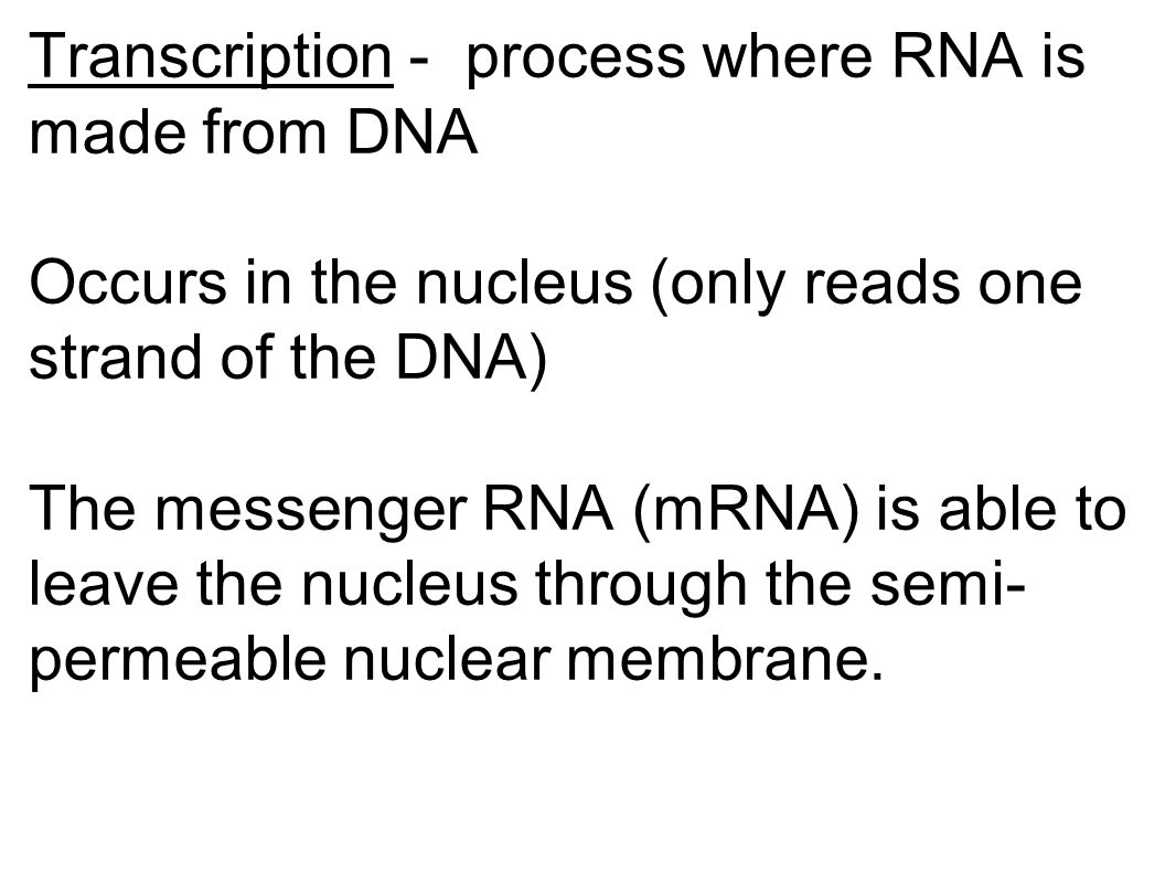 Transcription - process where RNA is made from DNA Occurs in the nucleus (only reads one strand of the DNA) The messenger RNA (mRNA) is able to leave the nucleus through the semi-permeable nuclear membrane.