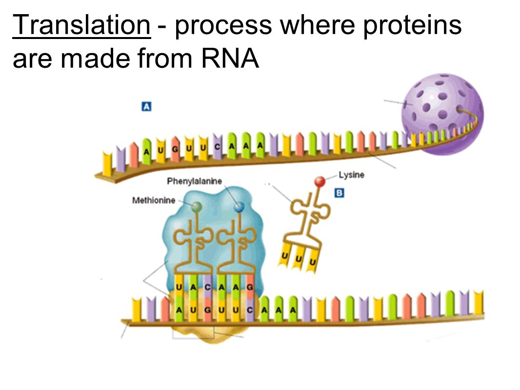 Translation - process where proteins are made from RNA