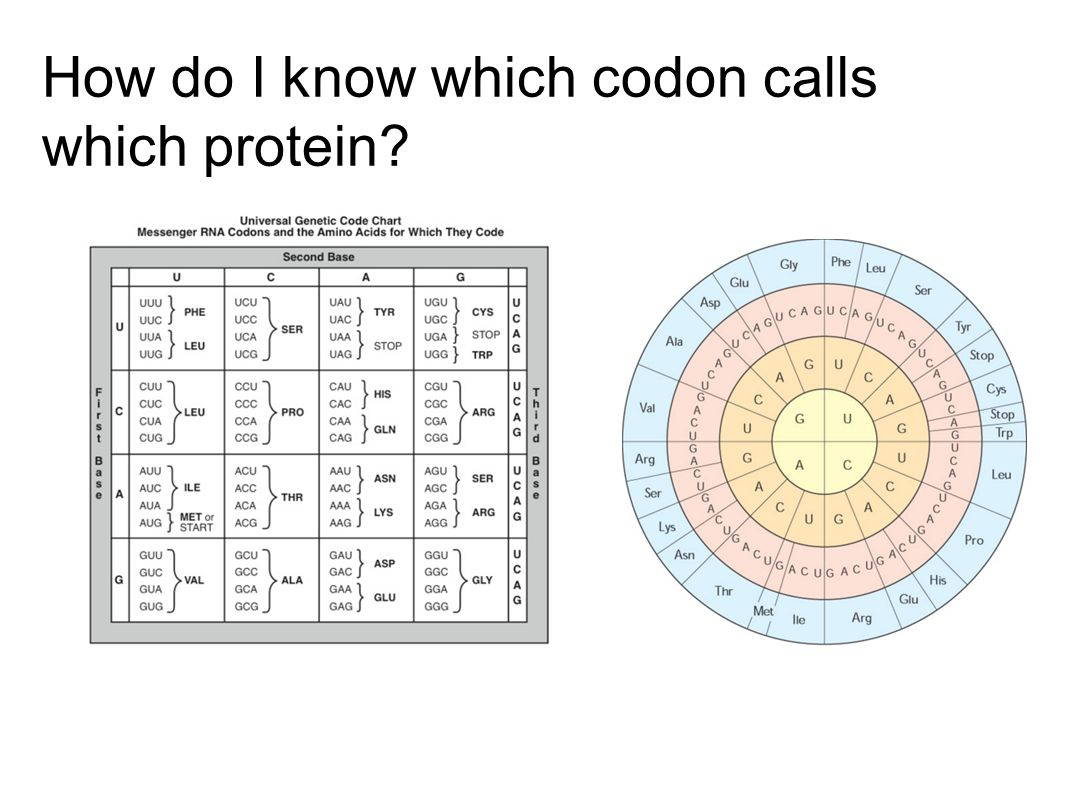 How do I know which codon calls which protein
