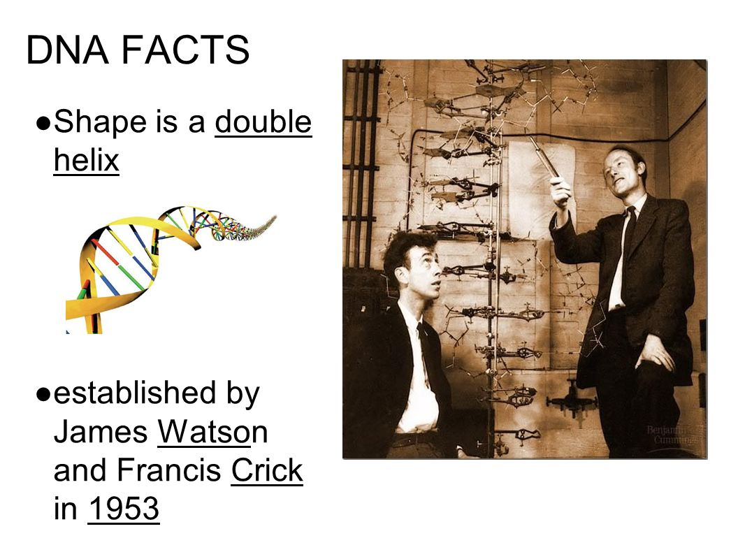 DNA FACTS Shape is a double helix