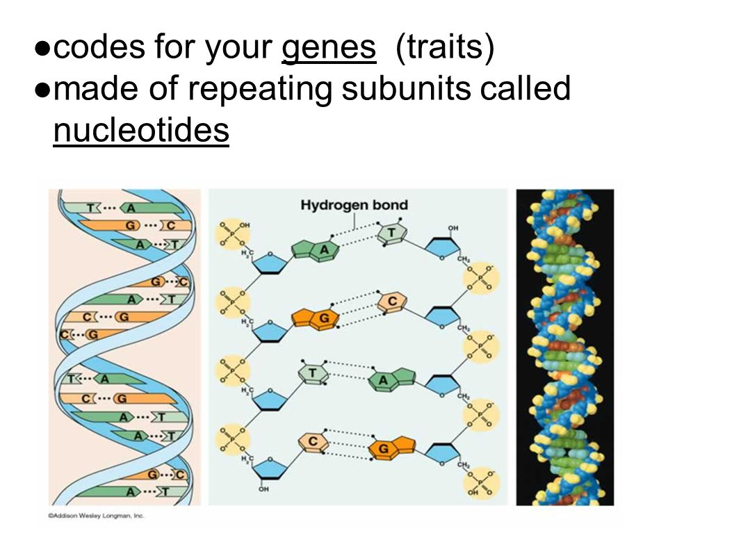 codes for your genes (traits)