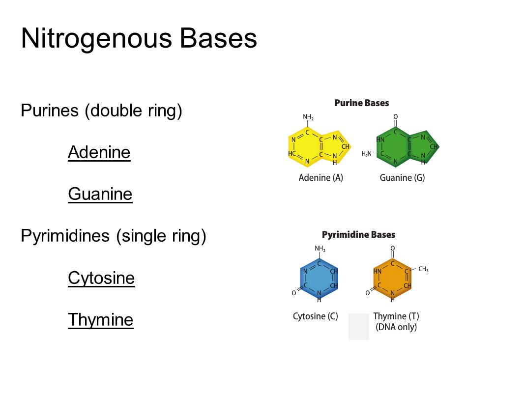 Nitrogenous Bases Purines (double ring) Adenine Guanine
