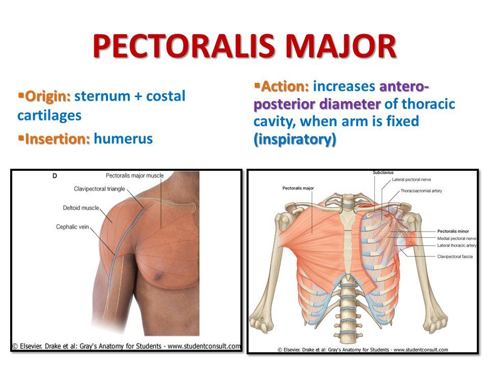 PECTORALIS MAJOR Action: increases antero-posterior diameter of thoracic cavity, when arm is fixed (inspiratory)