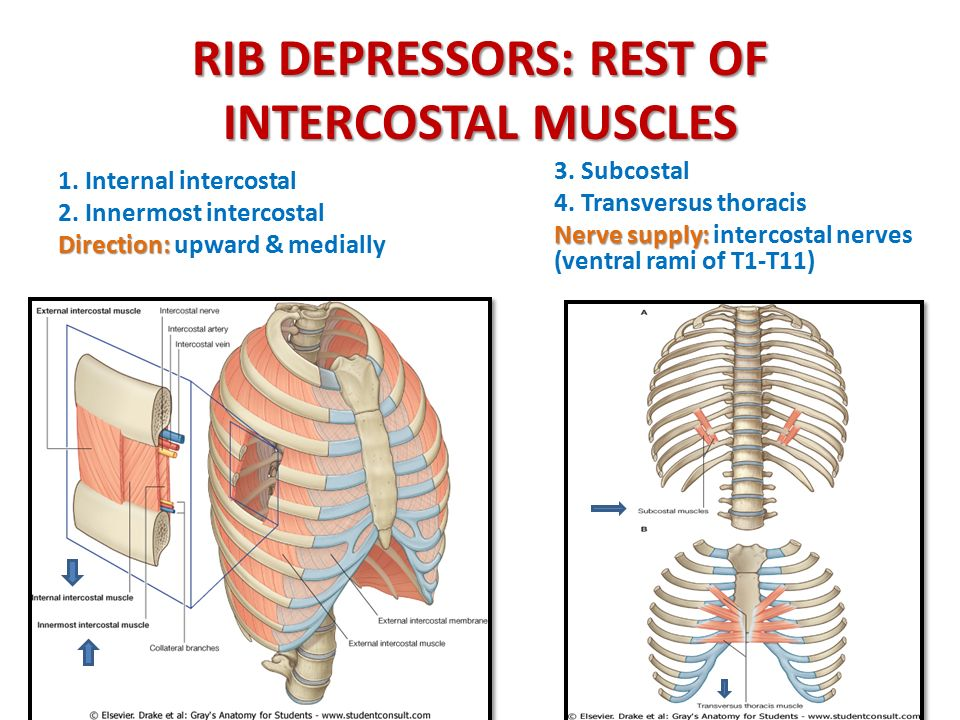 RIB DEPRESSORS: REST OF INTERCOSTAL MUSCLES