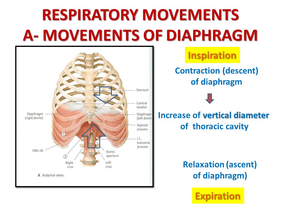RESPIRATORY MOVEMENTS A- MOVEMENTS OF DIAPHRAGM