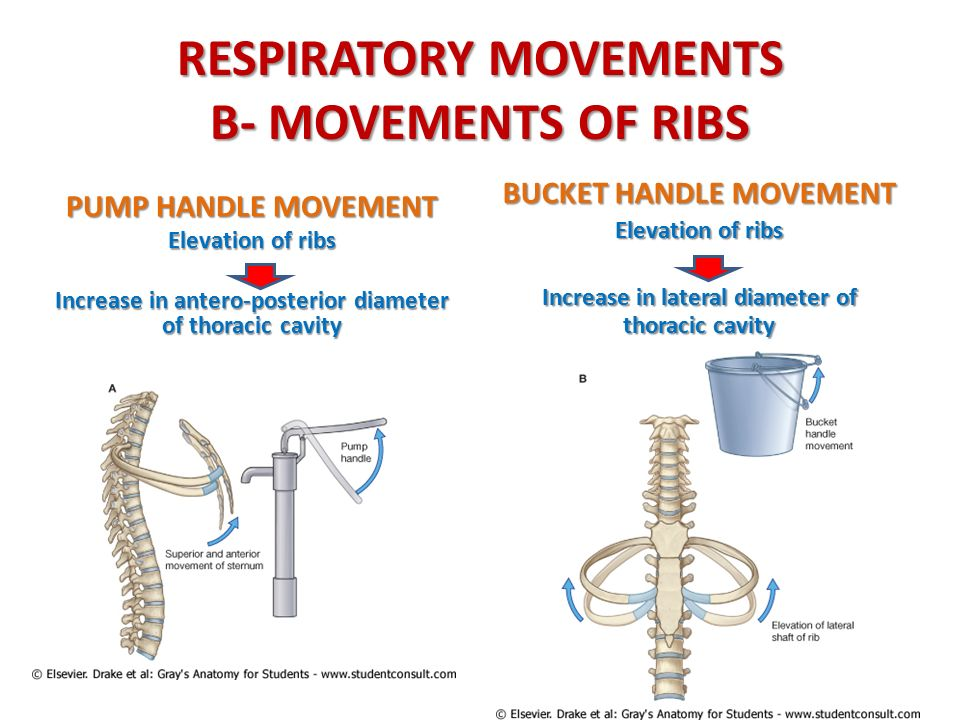 RESPIRATORY MOVEMENTS B- MOVEMENTS OF RIBS