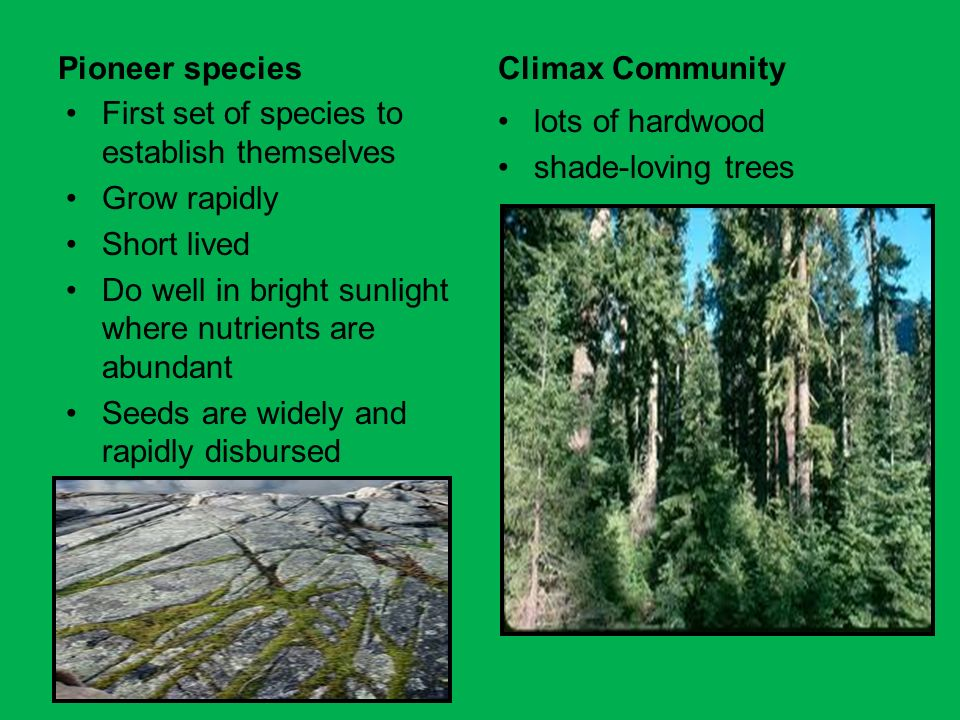 Pioneer species Climax Community. First set of species to establish themselves. Grow rapidly. Short lived.
