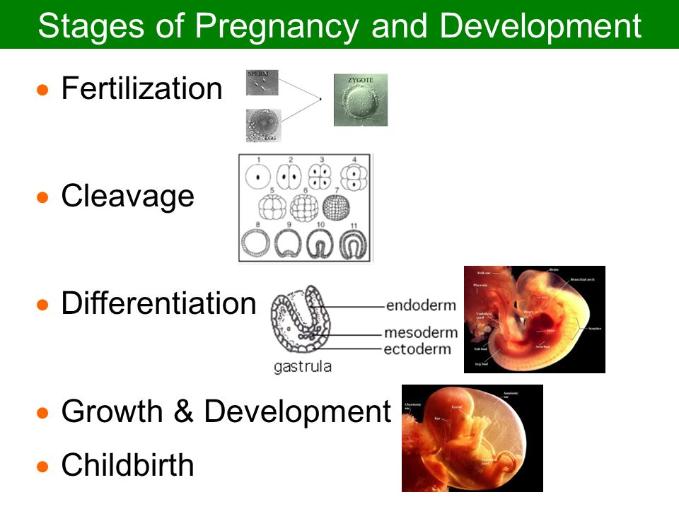 Stages of Pregnancy and Development - ppt video online ...