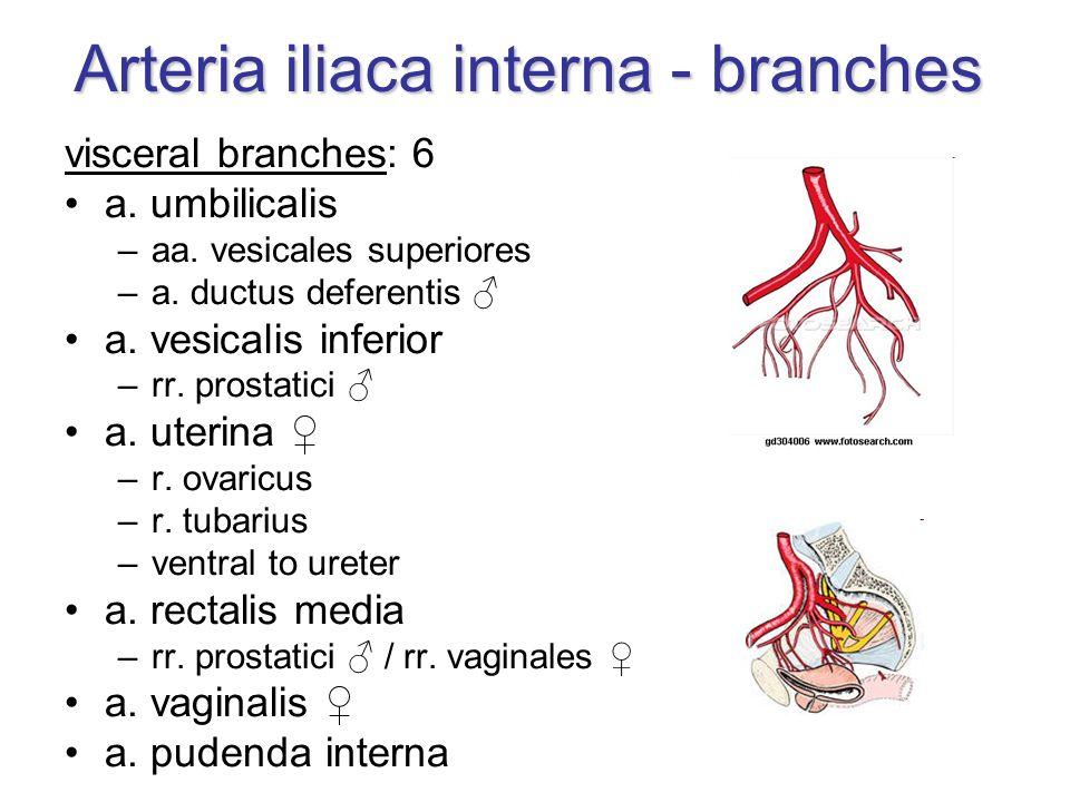 Berühmt Anatomie Der A. Iliaca Interna Galerie - Anatomie Von ...