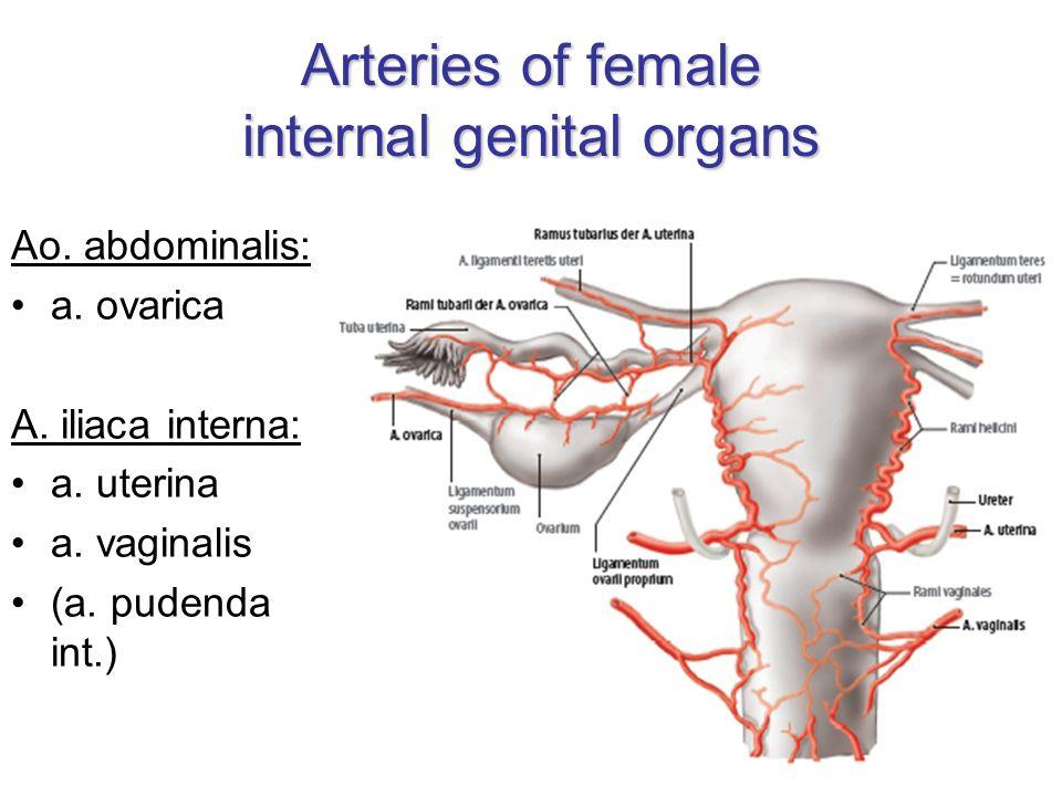 Erfreut A. Iliaca Interna Bilder - Menschliche Anatomie Bilder ...