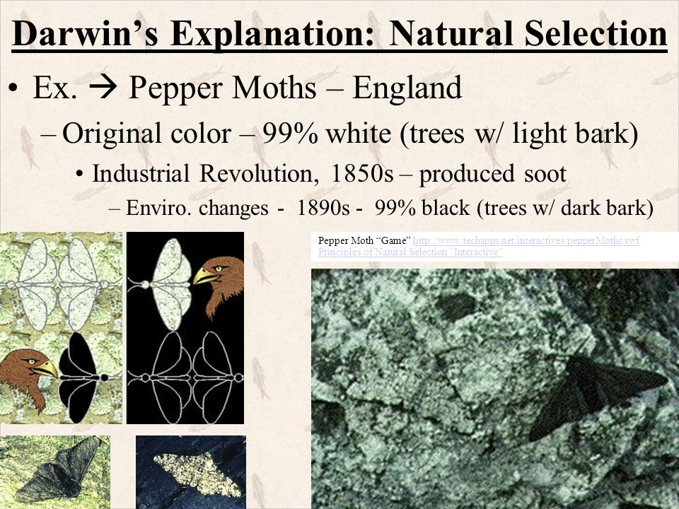 Natural Selection Moths Industrial England