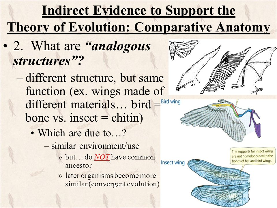 How does comparative anatomy support the theory of evolution